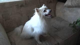 Lucky - Adopted! - Pomeranian/american Eskimo Mix