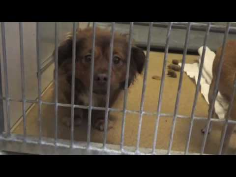 Please Help Save Tony! A Tibetan Spaniel Mix! He Needs Rescue in 48 Hours!