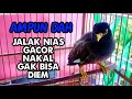 Jalak Nias Super Gacor Nakal Gak Bisa Diem  Mp3 - Mp4 Download