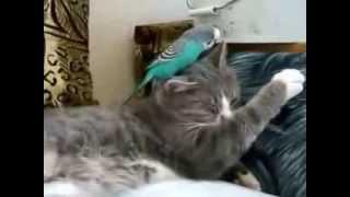 Кот и попугай - уписаться и не встать:-)))))