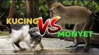 vuclip Skandal Sex monyet vs kucing