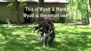 German Shorthaired Pointer Steady To Wing And Shot.wmv