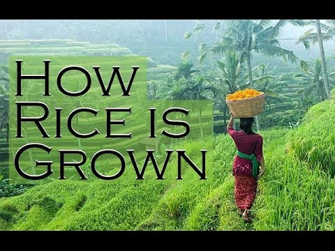 How rice is grown in south Bali
