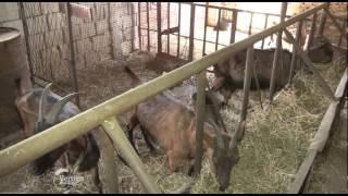 Uzgoj i farma koza u Vrbasu   U nasem ataru 591