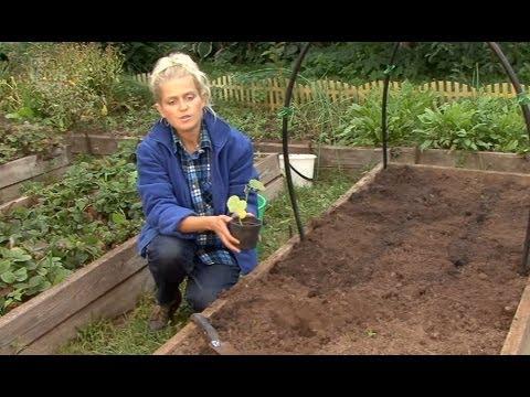 Все о выращивании огурцов. Посадка семян и рассады огурцов в грунт.Часть 4