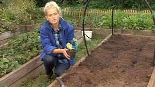 видео Как вырастить красивые и вкусные огурцы