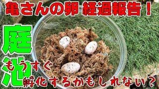 7月1日と7月20日にキボシイシガメが産卵した卵の経過報告です。現在...
