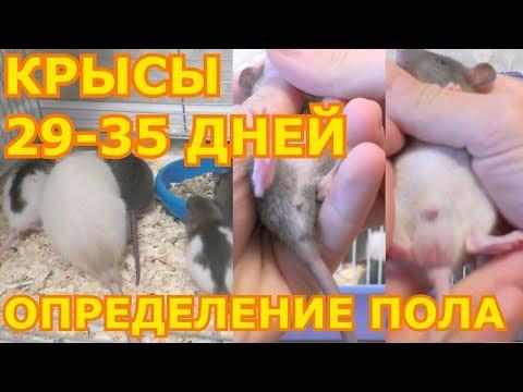 Декоративные крысы 29-35 дней. Как определить пол крысы?