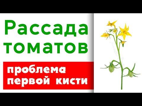 Рассада томатов в апреле.  Проблемы первой кисти