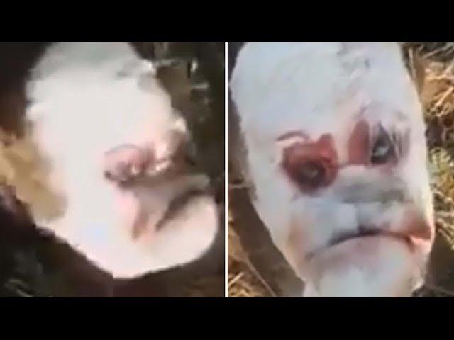 Nace un ternero mutante con 'rostro humano' en Argentina