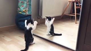 Funny+Cat+And+mirror+Video%7CFunny+video%7CWhat%27s+App+Videos%7C30+Seconds+Status+Video%7C