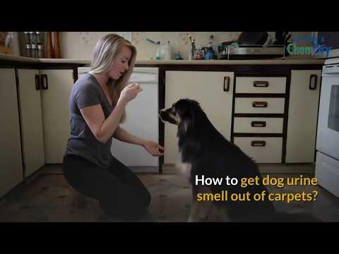 Dog Urine Cleaner For Carpet | How to Get Dog Pee Smell Out of Carpet | Get Dog Urine Out Of Carpet