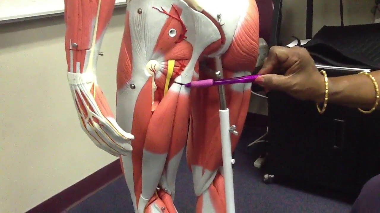 Structures Deep to Gluteus Maximus -- Explanation over anatomical ...