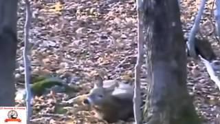 охота на оленя с арбалетом один выстрел
