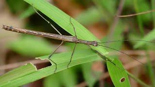 paraziți în insectele sociale helmint parazitar