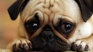 Cats And Dogs: Cute Guilty Dogs | Dog Adoption | Pug Puppies | Dog Show [hd]