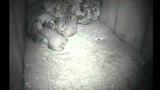 Iberian lynx mother and cubs