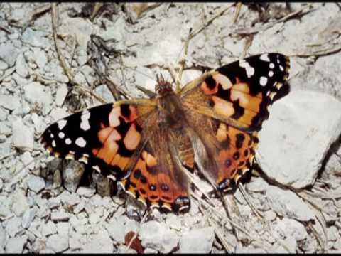 Butterfly1.mpg