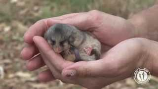 Meet the Mountain Pygmy-possum