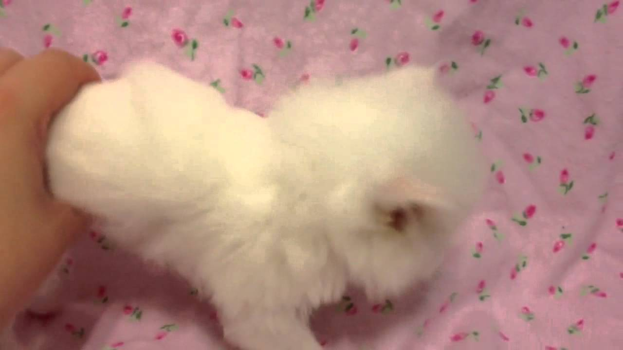 Cupcake Teacup Female Solid White Persian Kitten for Sale from