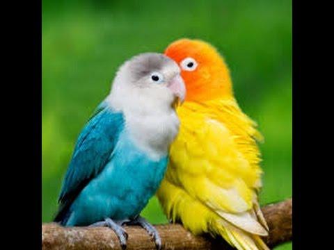 اجمل طير الحب 2017 Love Bird 2017 Youtube