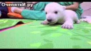 Первые три месяца жизни белого медведя