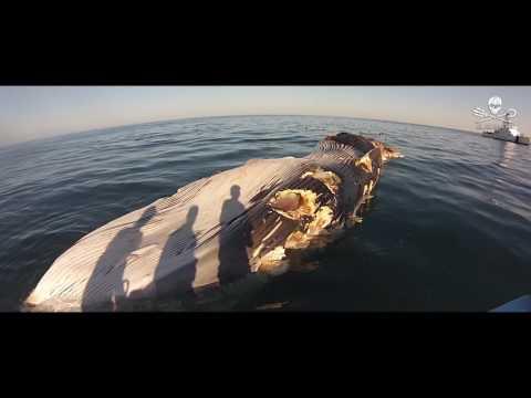 Sea Shepherd Investigates Whale Corpse in Sea of Cortez