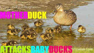 Mother duck attacks baby ducks