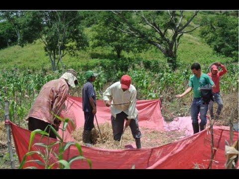 Productores esperan tener buenos resultados en cosecha de postrera