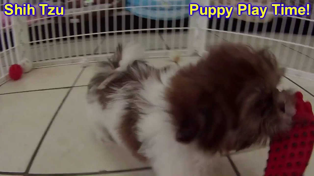 Shih Tzu Puppies Dogs For Sale In Jacksonville Florida Fl 19breeders Orlando Cape Coral