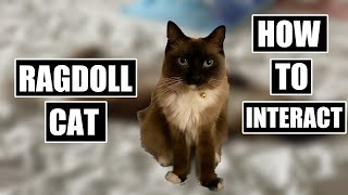 HOW to PLAY with a RAGDOLL Cat