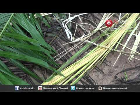 ชาวสวนปาล์มชุมพรโอดถูกโขลงช้างรุกรานทำลายต้นไม้ : NewsConnect Channel