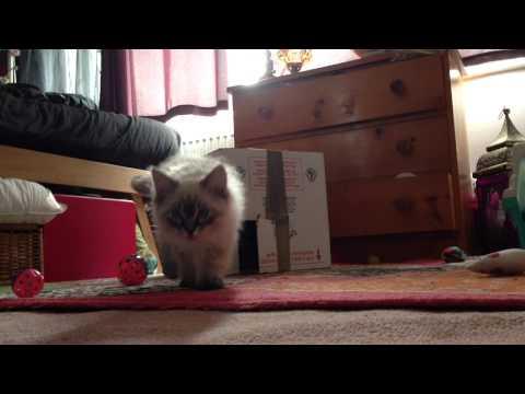 Alfie the Ragdoll kitten meowing when left alone
