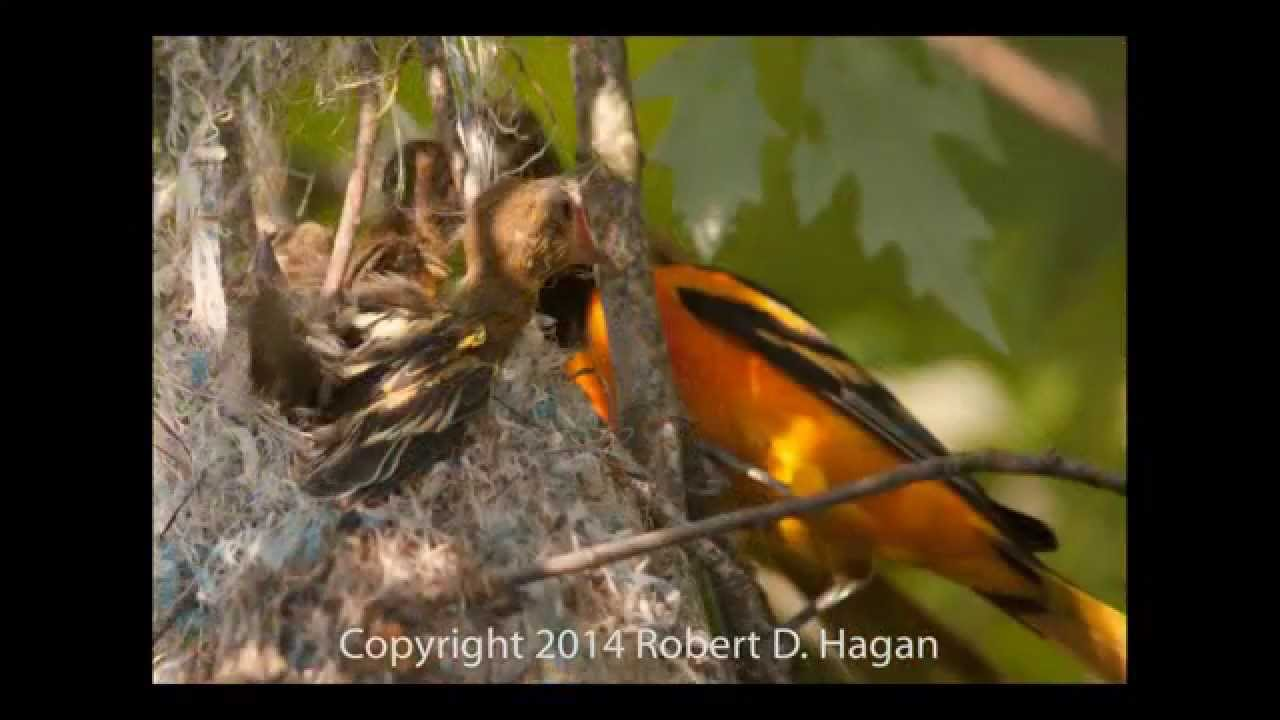 orioles nest building to first flight youtube
