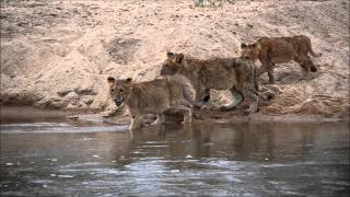 Three lion cubs from MalaMala Game Reserve cross the Sand River while a hungry crocodile lurks.