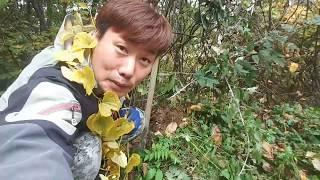 #자연산 (산마 )캐기와 바위돌과씨름 (토종벌) (벌침…