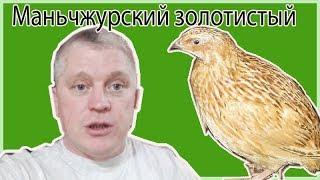 Перепел Маньчжурский золотистый //Закладка яйца //Жизнь в деревне