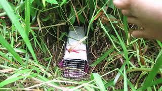 Kỹ thuật đặt bẫy Rắn trong bụi cỏ rậm ( How to place a Snake trap in the Grass)