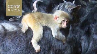 このお母さんが好き!1匹の黒ヤギにロックオン。その背中にはりついて離れないサルの赤ちゃん
