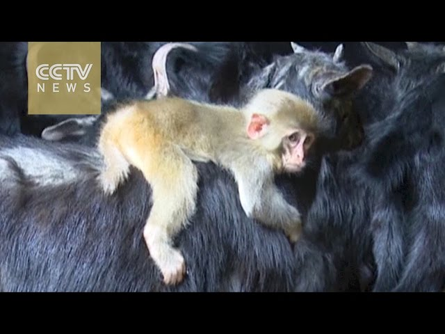 Footage: Baby monkey befriends a goat in east China