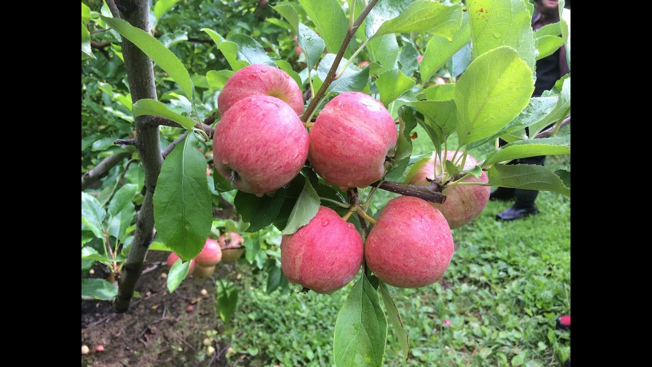 Nutritional Treatment For Apple Scab