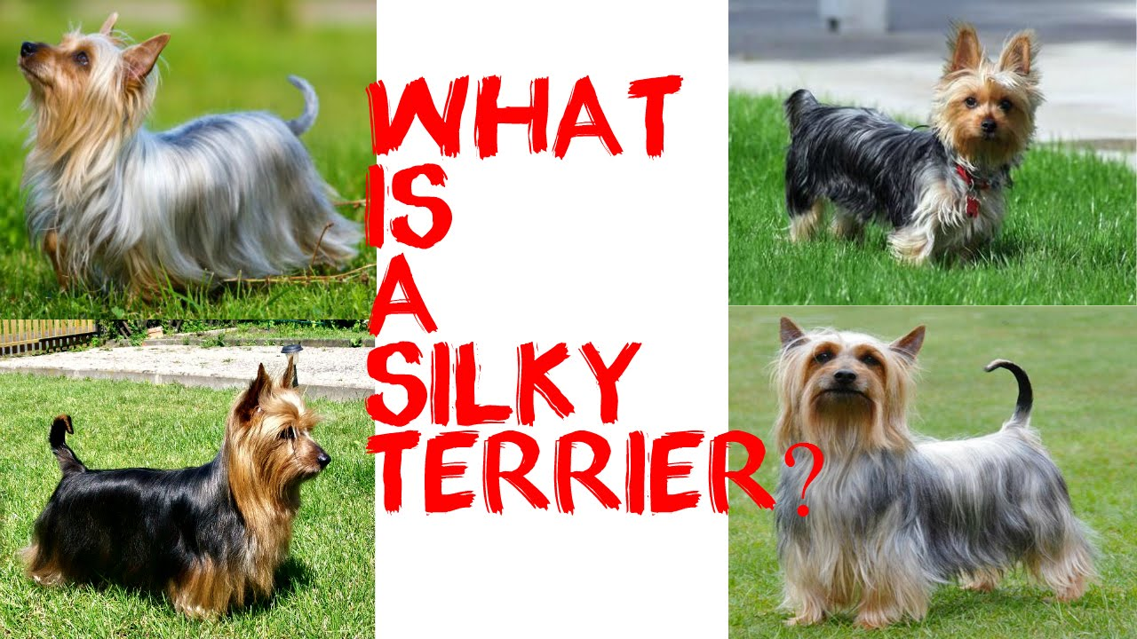 What Is A Silky Terrier Youtube