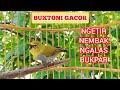 Pleci Buxtoni Jantan Gacor Kicau Pidong  Mp3 - Mp4 Download