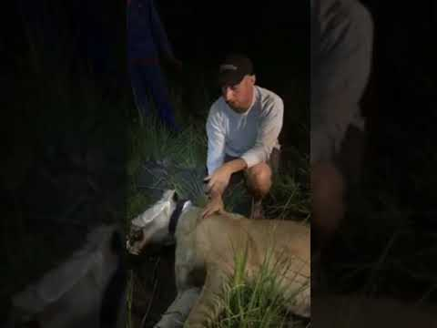 Two Lions Radio Collared: Live in Botswana