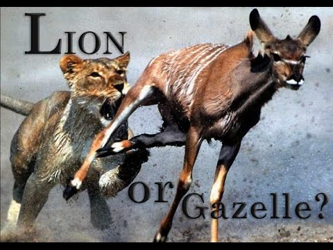 Are you a Lion or Gazelle: Powerful Motivational Video!