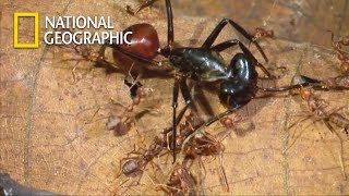 Chemical War of Ant Troops VS. One Goliath Ant|National Geographic