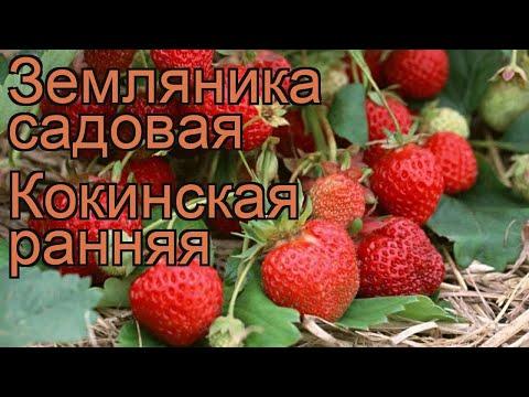 Земляника садовая Кокинская ранняя 🌿 обзор: как сажать, рассада земляники Кокинская ранняя