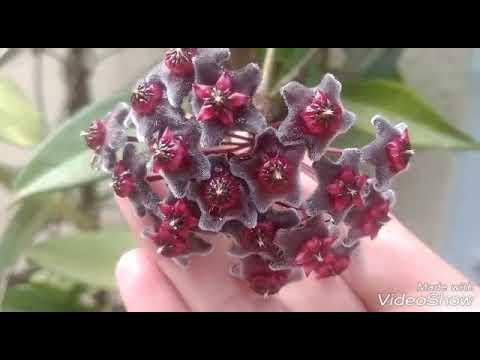 Hoya.  carnosa ( Flor de cera)