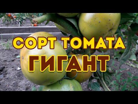Сорт томата Гигант! Полный видео обзор сорта | открытого | новикова | томатов | помидор | томата | лучшие | гигант | томат | сорта | сорт