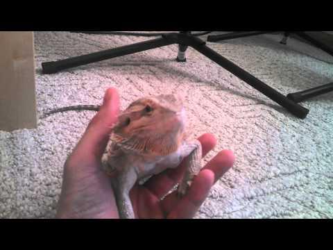 Bearded Dragon Yawning (filmed With Droid Maxx HD)